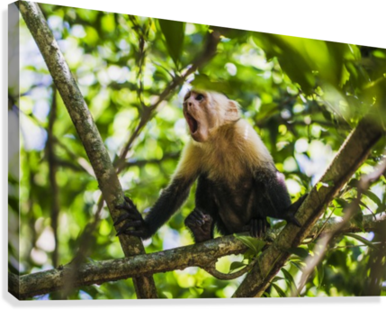 Monkey yawning in jungle  Canvas Print
