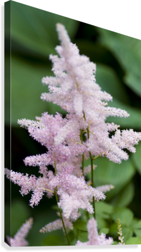 Pink Astilbe 2  Canvas Print