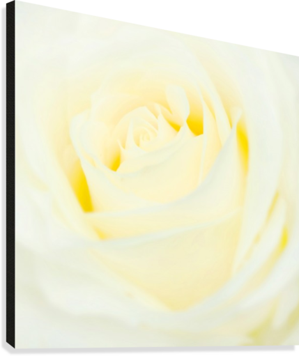 The White Rose  Canvas Print