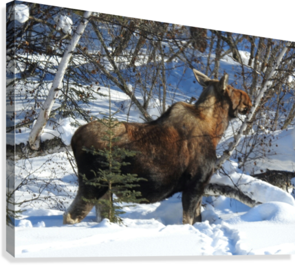 Hungry Moose  Canvas Print