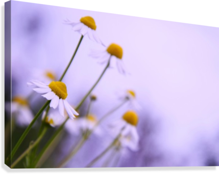 Chamomile in spring  Canvas Print