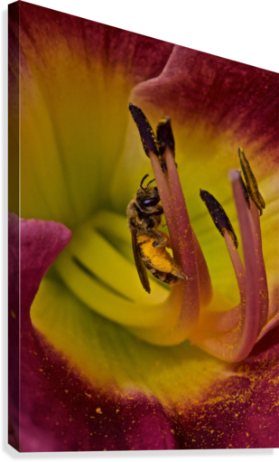 Bee Inside Corn Lily - Portrait  Canvas Print