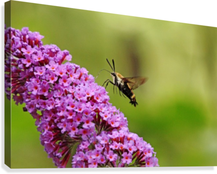 Hummingbird Moth Sipping Nectar  Impression sur toile