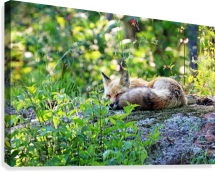 Nap Time For Red Fox I  Canvas Print