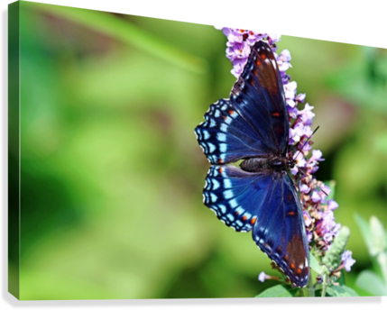 Red Spotted Purple Beauty  Canvas Print