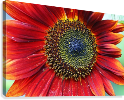 Red Sunflower With Yellow Tips  Canvas Print