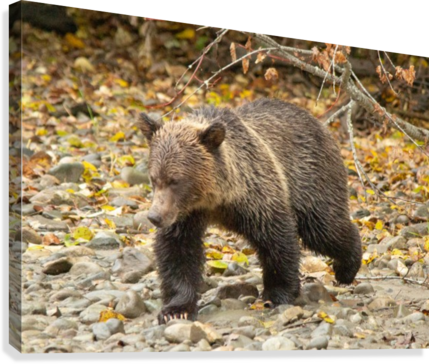 Grizzly Youngster  Canvas Print