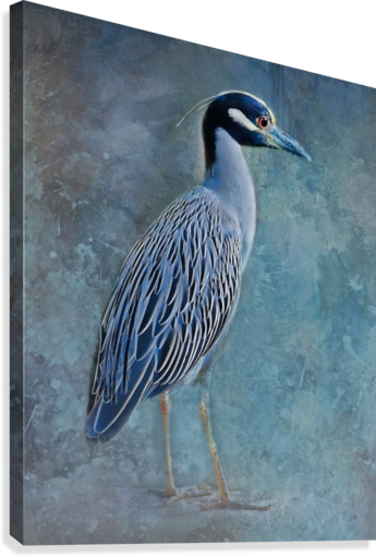 NIGHT HERON BLUES HH PHOTOGRAPHY OF FLORIDA  Canvas Print