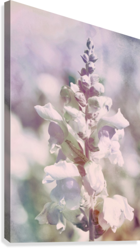 Soft Vintage Lupine  Canvas Print