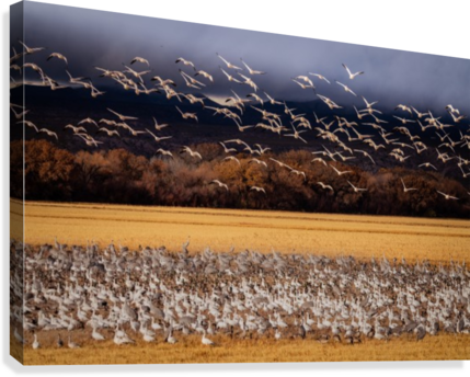 Snowbird Migration  Canvas Print