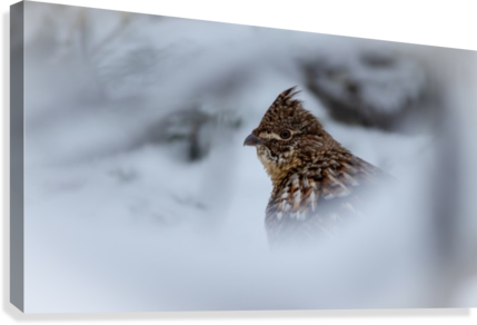 Winter Ruffed Grouse  Canvas Print