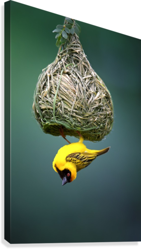 Masked weaver at nest  Canvas Print