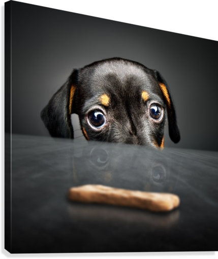 Puppy longing for a treat  Canvas Print
