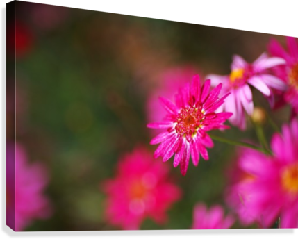 Hot Pink Small Daisy  Canvas Print