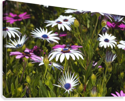 Daisies Of White And Pink  Canvas Print