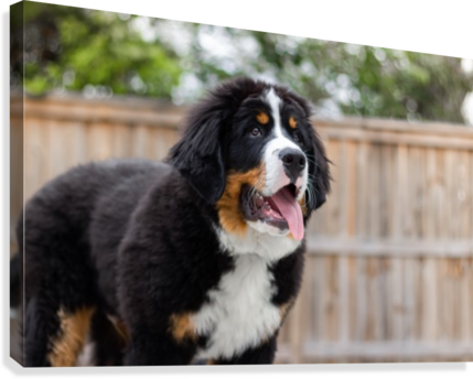Bernese Mountain Dog Puppy 7 Jules Siegel Canvas Artwork