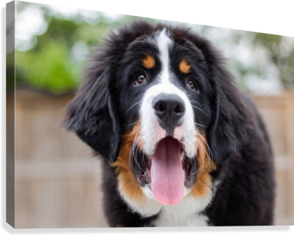 Bernese Mountain Dog Puppy 9 Jules Siegel Canvas Artwork