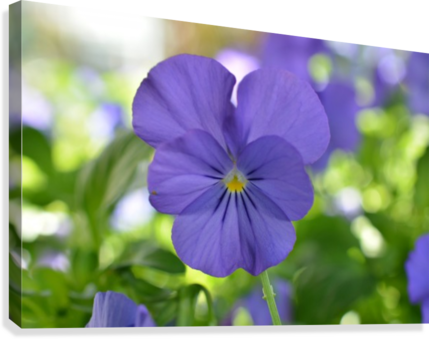 Blue Pansy Photograph