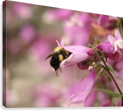 Bee in pink flower photograph katherine lindsey photography canvas bee in pink flower photograph canvas print mightylinksfo