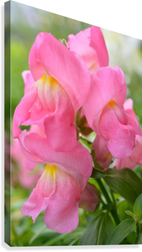Pink Snapdragon Photograph   Canvas Print