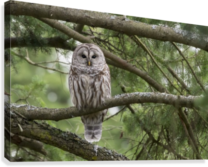 Barred Owl - Eye Contact  Canvas Print