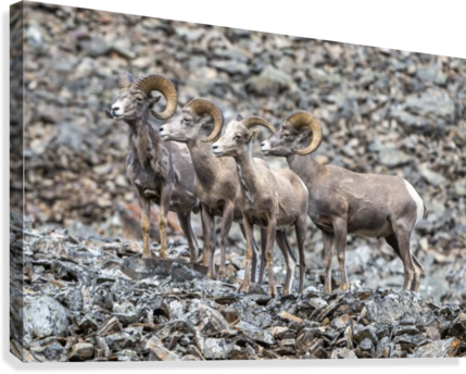 Big Horn Sheep - Family Portrait  Canvas Print