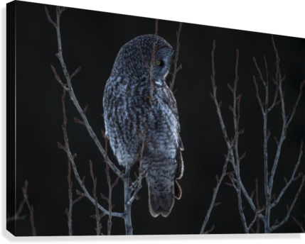 Great Grey Owl - After sunset  Canvas Print