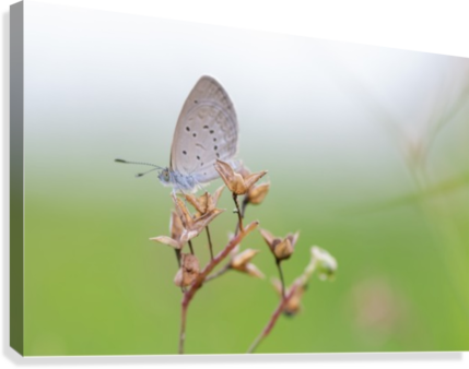Gray butterfly perching on dried grass  Canvas Print