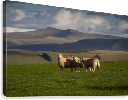 Sheep on the Brecon Beacons  Canvas Print