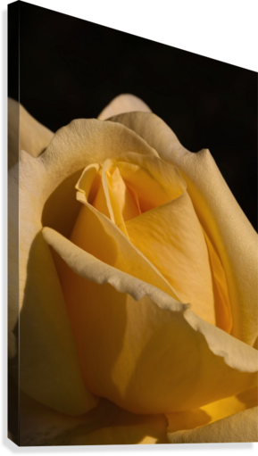Yellow Rose Close up Single Black Background A010601_1406644  Canvas Print