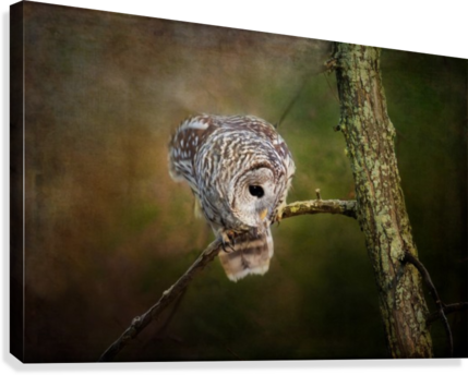 Barred Owl Eyeing Prey.  Canvas Print