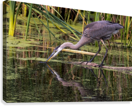 Great Blue Heron taking a Sip  Canvas Print