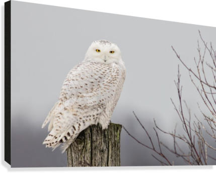 Snowy Owl on the Fence  Canvas Print