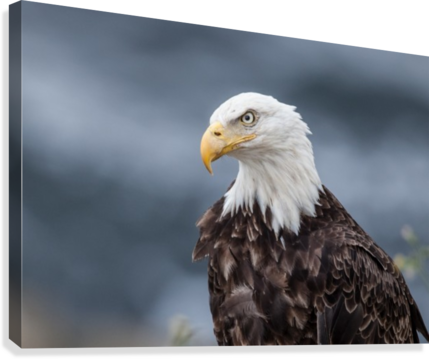 Portrait of an Eagle  Canvas Print