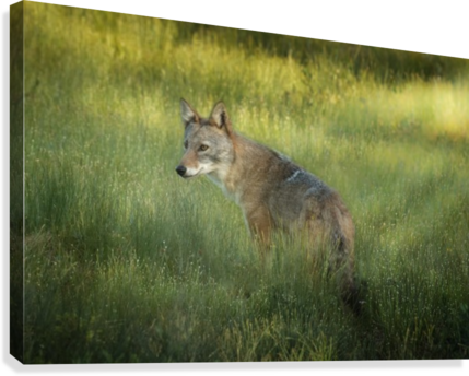 Evening Coyote  Canvas Print