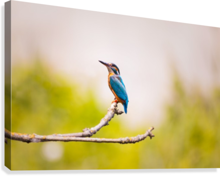 kingfisher 2363879  Canvas Print