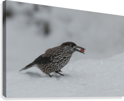 Spotted nutcracker in the snow  Canvas Print