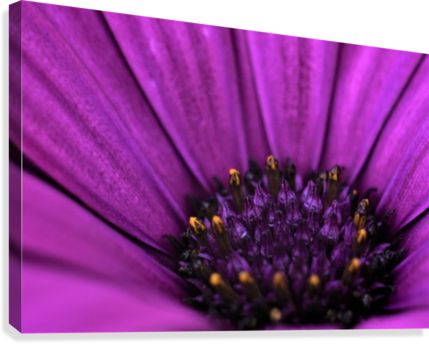 Purple Osteospermum Daisy Photograph Macro  Canvas Print