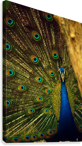 blue and green peafowl  Canvas Print