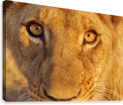 Lion Eyes   Canvas Print