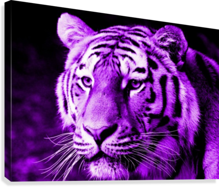 TIGER POP PURPLE THULA-PHOTOGRAPHY  Canvas Print