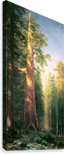 The big trees, Mariposa Grove, California by Bierstadt  Canvas Print