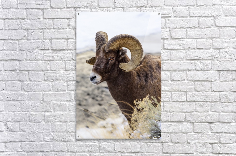 Close up of Bighorn ram (ovis canadensis) with broomed (splintered) horn tips resulting from butting heads with other rams, Shoshone National Forest; Wyoming, United States of America  Acrylic Print