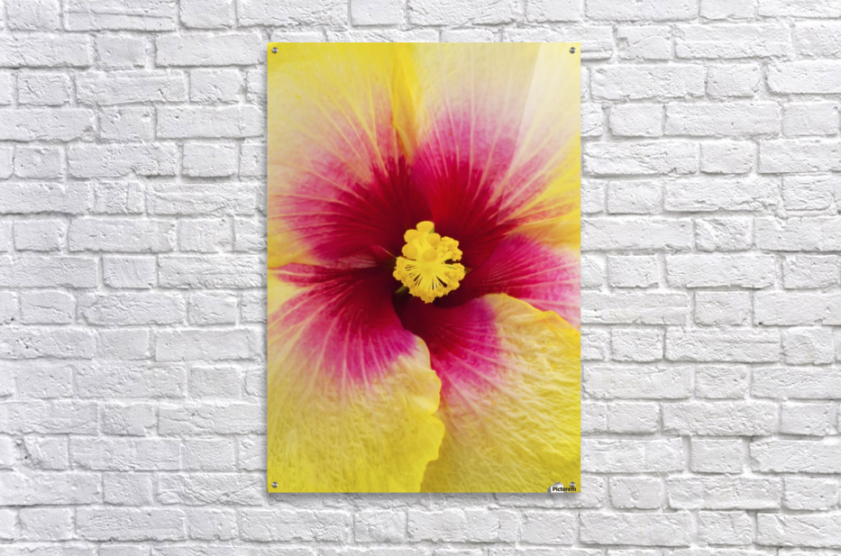 Close-up macro shot of a beautiful red and yellow Hibiscus flower; Honolulu, Oahu, Hawaii, United States of America  Acrylic Print