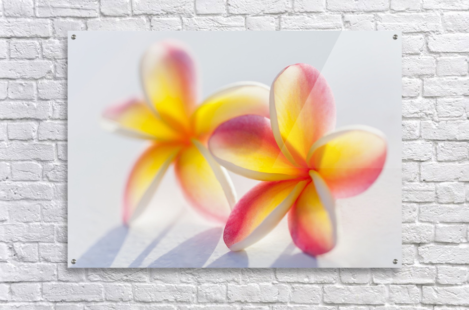 A pair of beautiful yellow and pink plumeria flowers together acrylic print a pair of beautiful yellow and pink plumeria flowers mightylinksfo