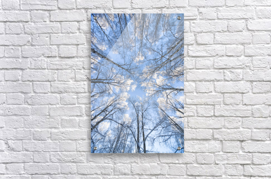 Looking Up Through Hoarfrost Covered Birch Trees In Russian Jack Park, Anchorage, Alaska  Acrylic Print