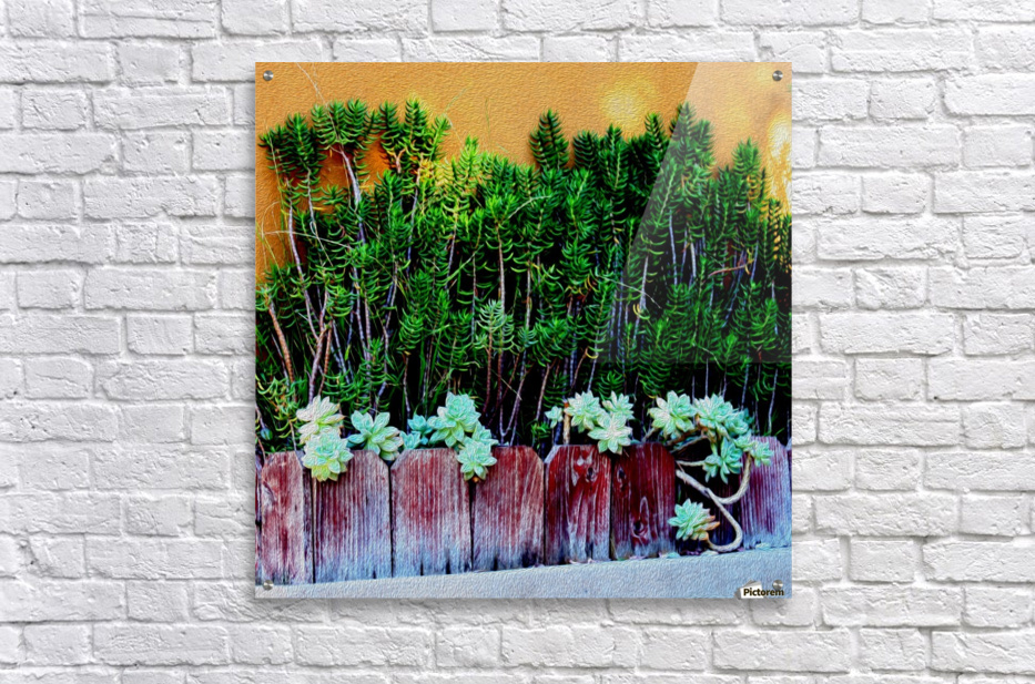 Wall of Succulents  Acrylic Print