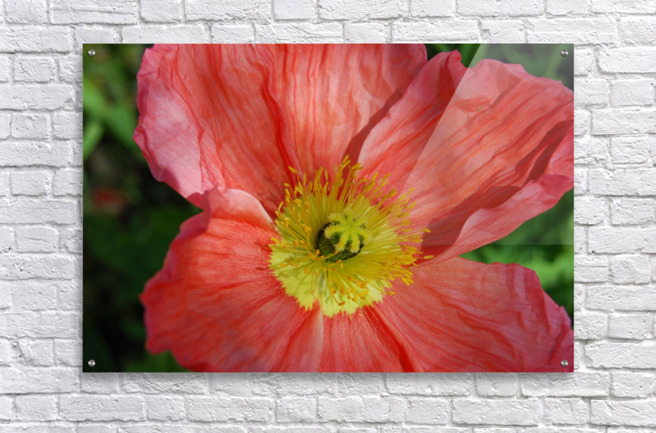 Poppies Growing in A Garden  Acrylic Print