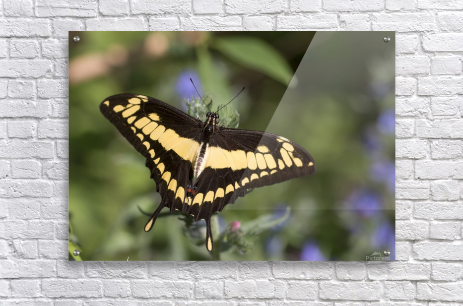 King swallowtail butterfly  Acrylic Print