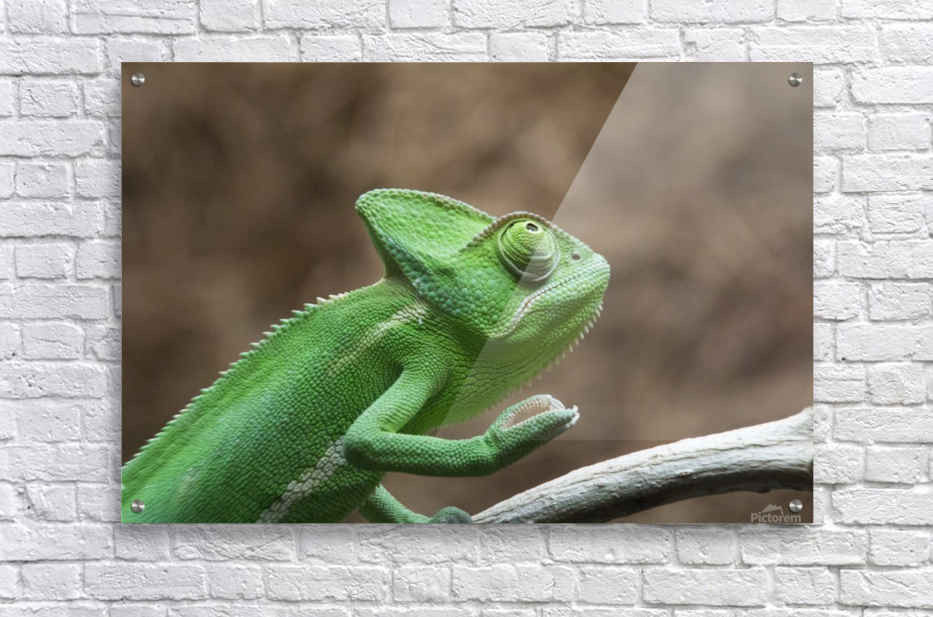 Funny pose of a chameleon  Acrylic Print